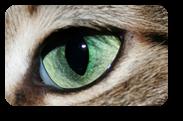 Vign_oeil-chat